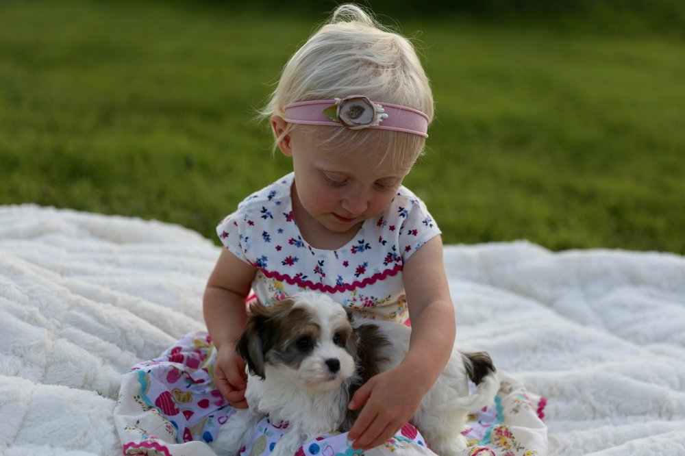 Foxglove Farm Cavachon puppy with little girl