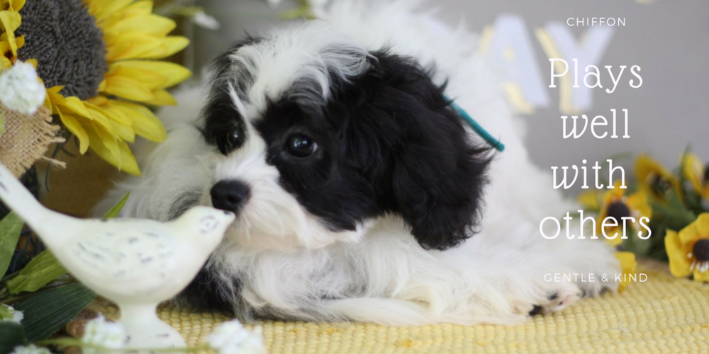 cavachon puppy for sale