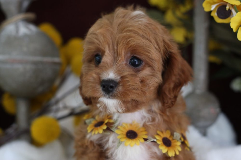 Foxglove Farm Cavapoo Puppy for sale