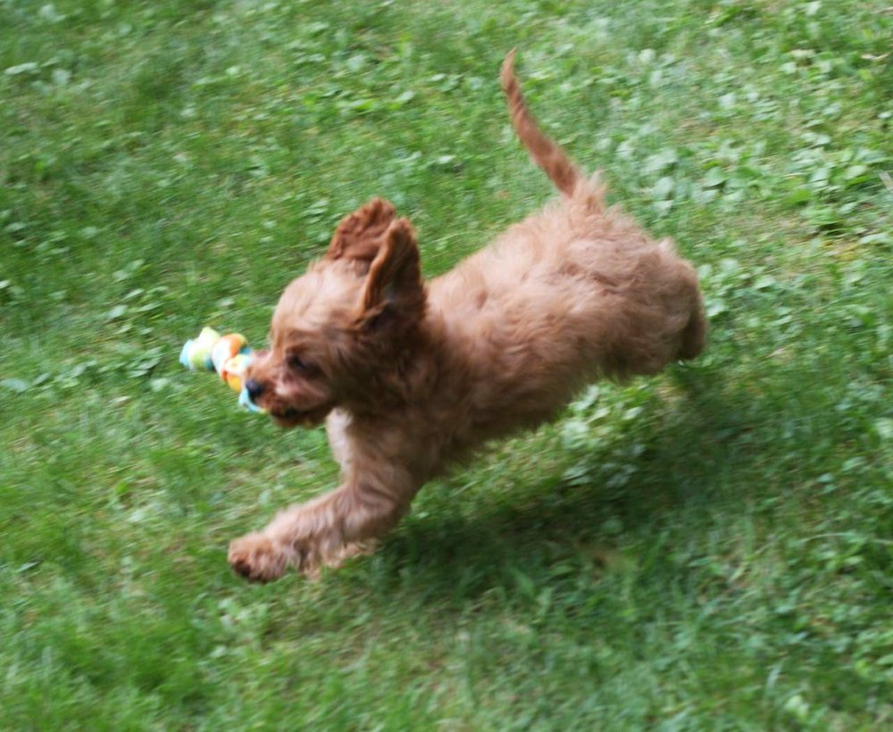 Cavapoo puppy playing