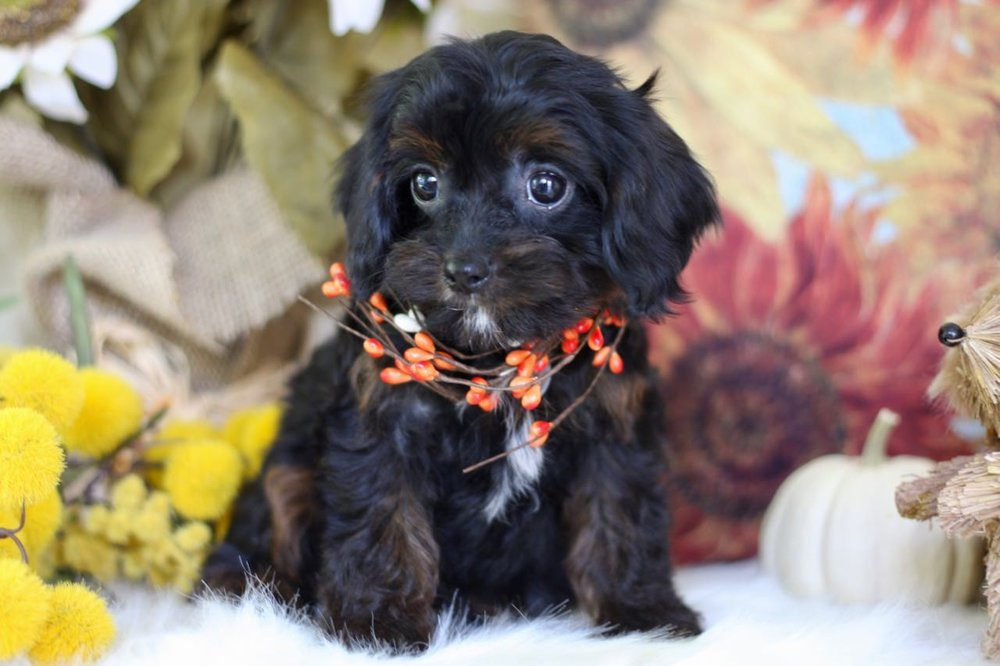 Cavapoo Puppy from Foxglove Farm