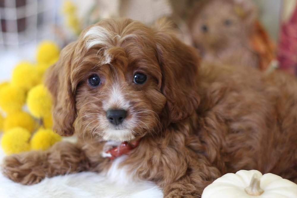 Ruby Cavapoo Puppy from Foxglove Farm