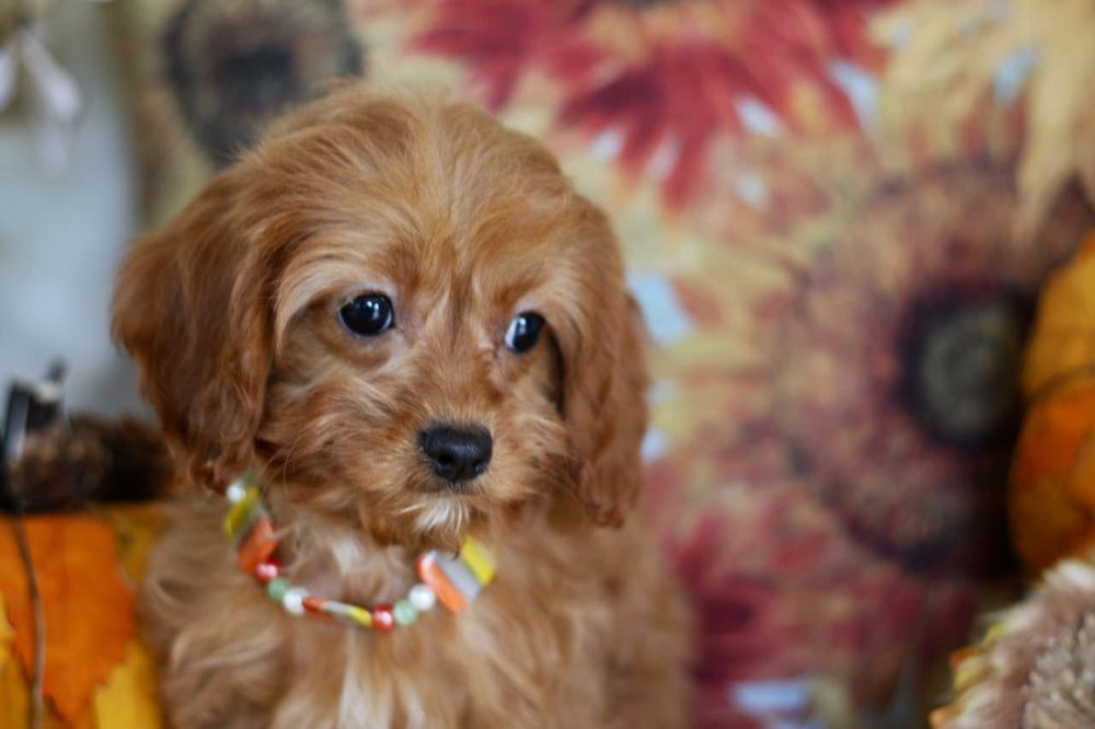 Cavapoo Ruby Girl Puppy