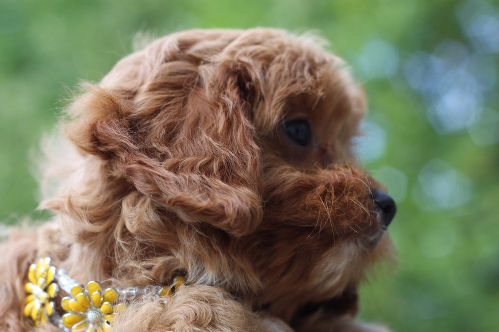 Cavapoo girl puppy from Foxglove Farm