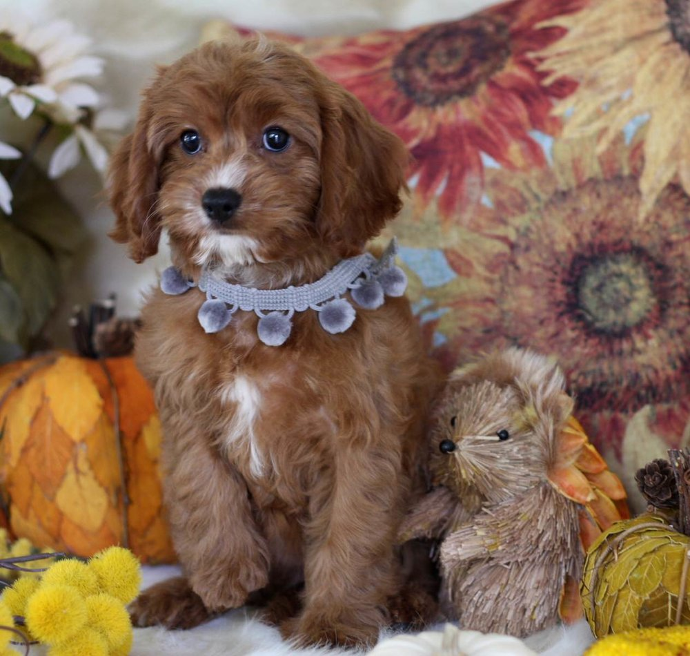 Ruby and White Cavapoo Puppy from Foxglove Farm