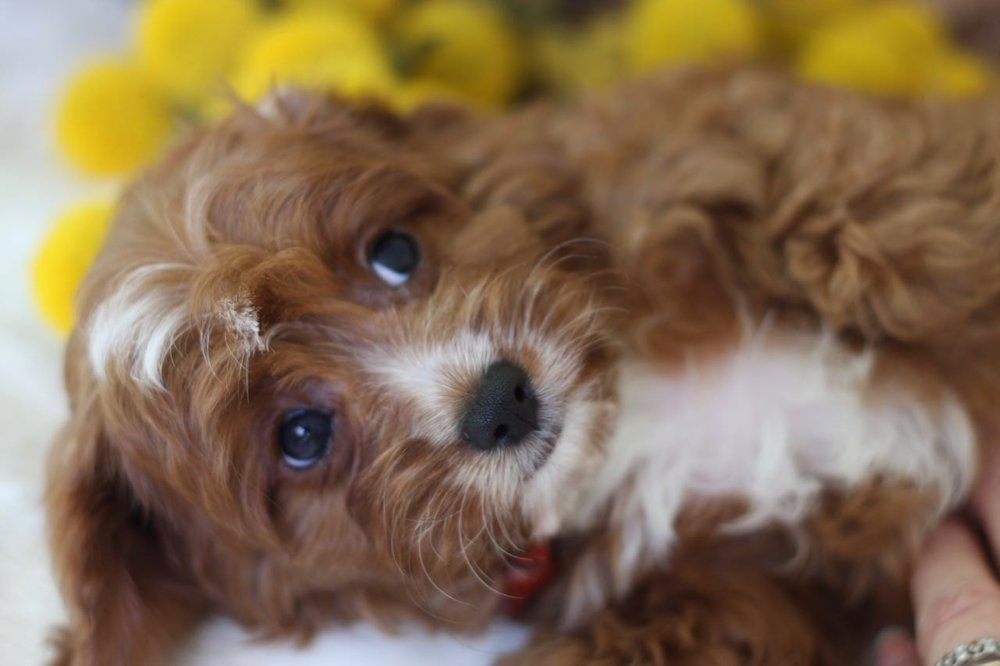 Cavapoo Puppy Ruby and White From Foxglove Farm