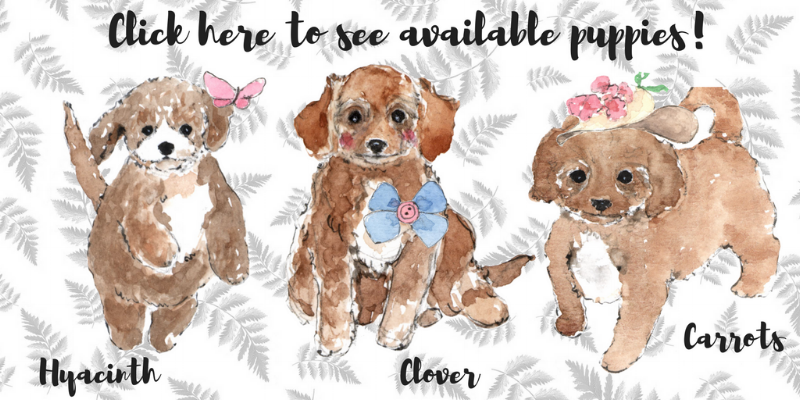 Cavapoo puppies for sale from Foxglove Farm
