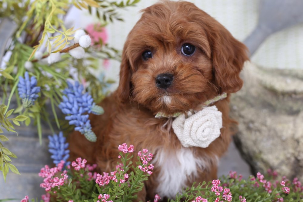 Cavapoo puppies from Foxglove Farm