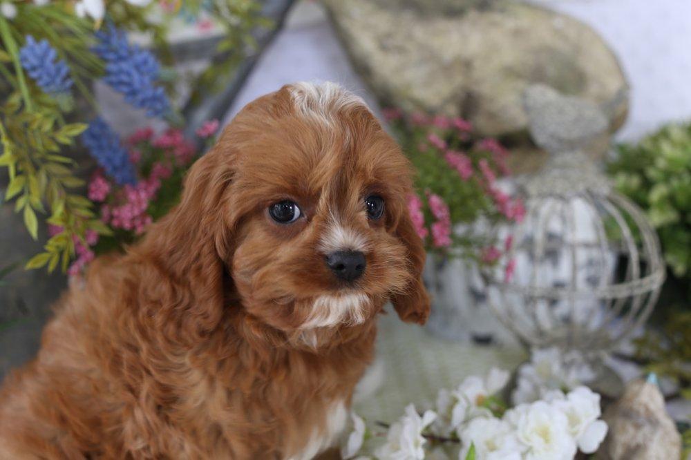 Cavapoo Puppy Waco
