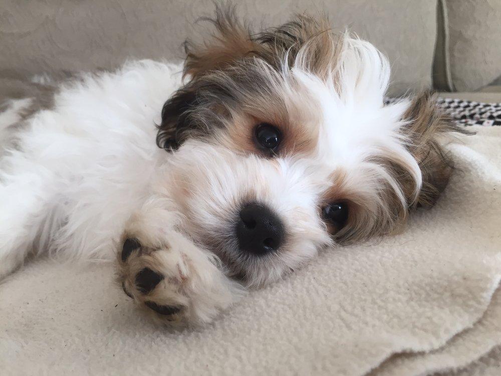 Wesley a Cavachon puppy from Foxglove Farm