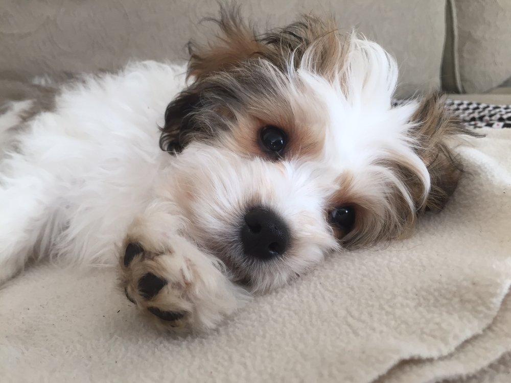 Cavachon puppy health needs