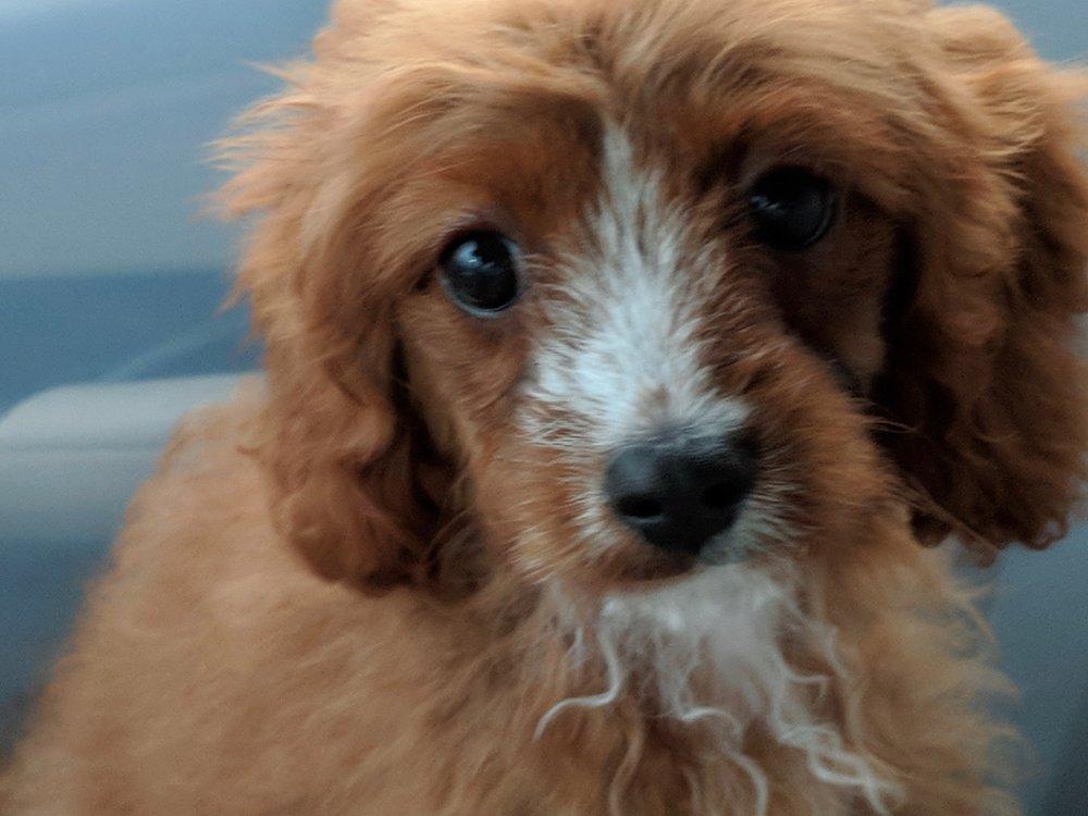 Beautiful Cavapoo puppy