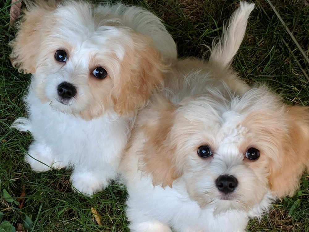 Adorable Cavachon puppies from Foxglove Farm