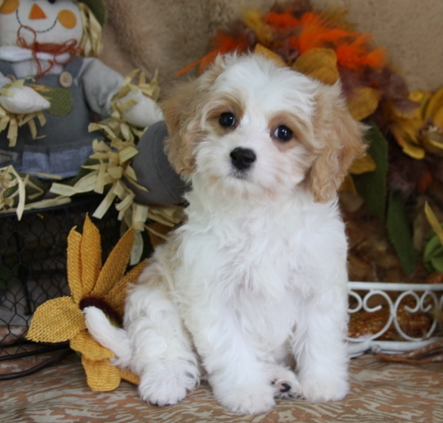 Cavachon Puppy From Foxglove Farm