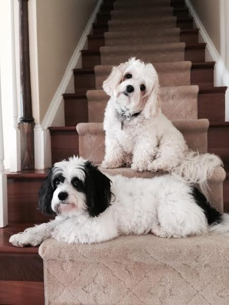 Cavachon review testimonial picture of Lily and Jack