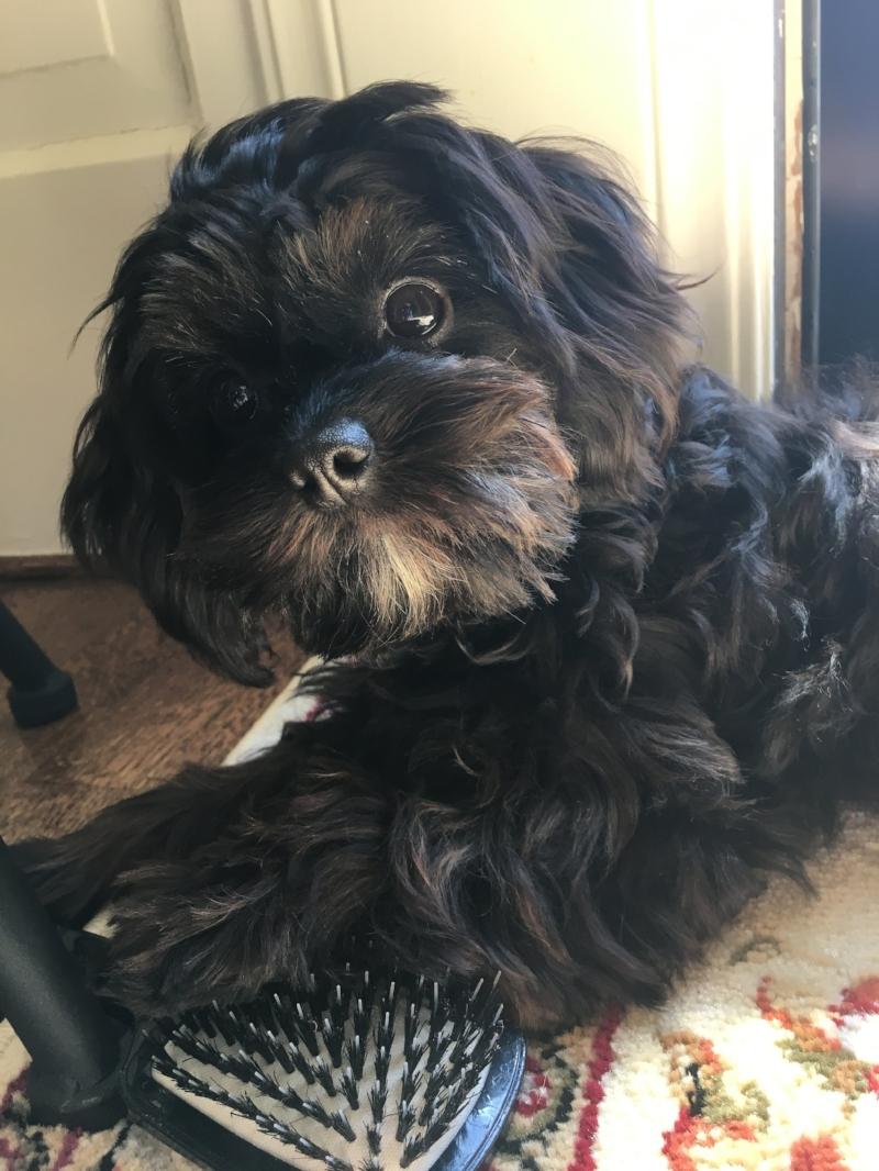 Cute Cavapoo puppy from Foxglove Farm