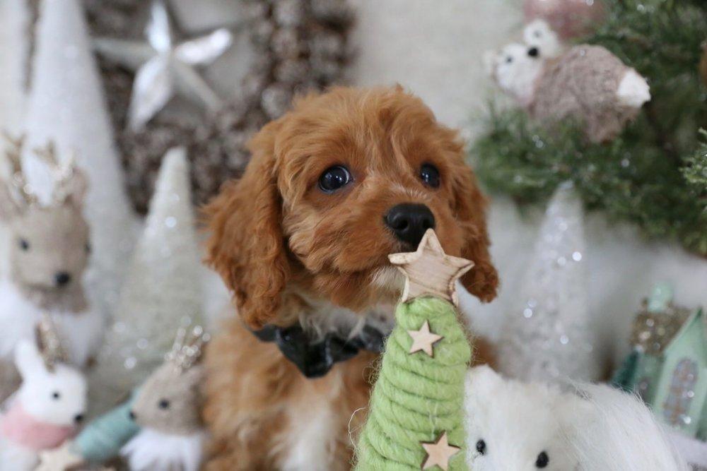 Adorable Cavapoo puppy