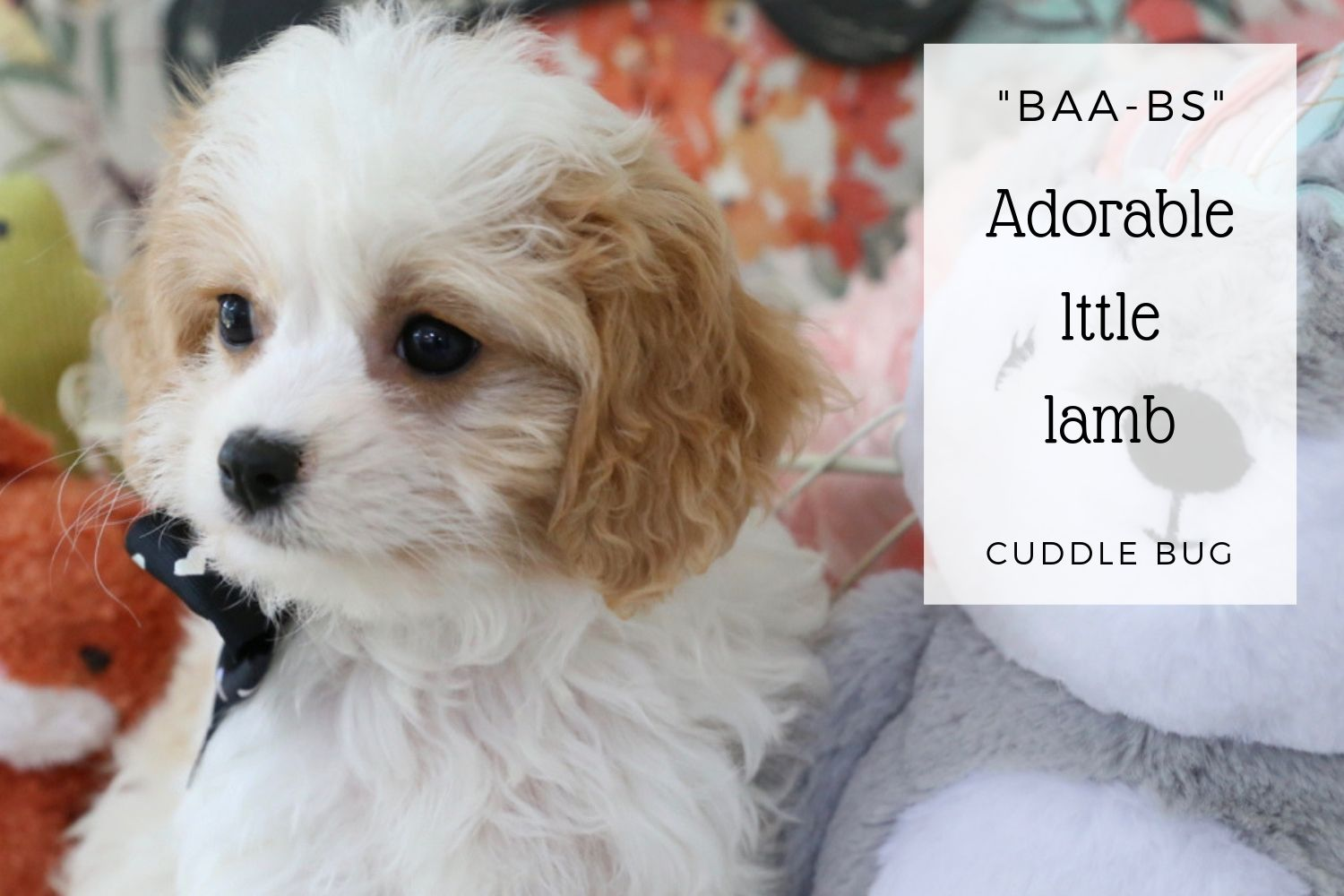 Available Cavachon and Cavapoo Puppies — Foxglove Farm