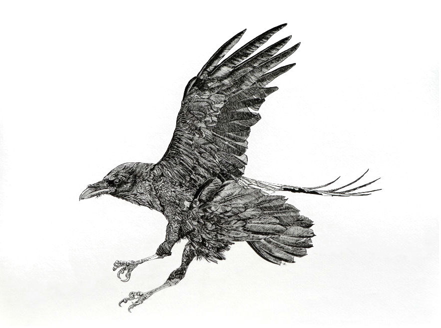Raven II    18 x 24    ink on paper