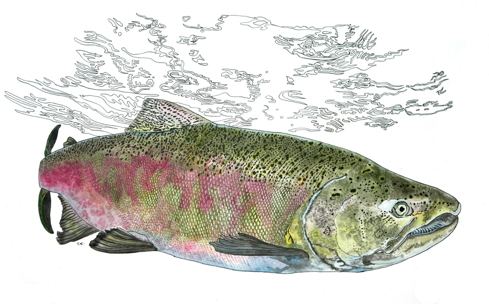 Chinook - Spawning Male    14 x 28    ink & watercolour on paper