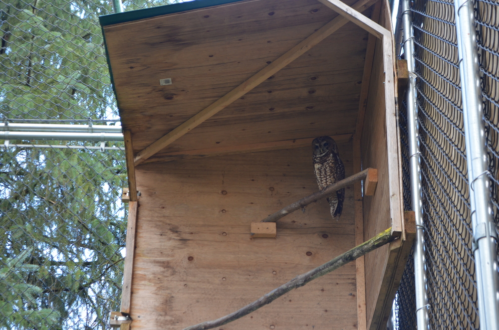 A male Northern Spotted Owl in his hutch.