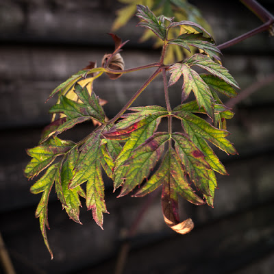 Shed Foliage, 2013 © Graham Dew