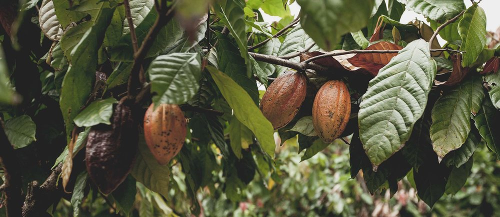 Cocoa trees and pods