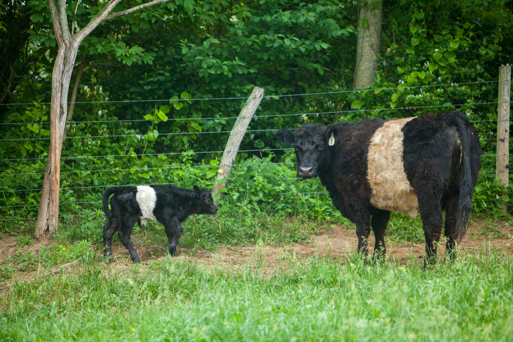 RappahannockBelties_May2015_003.jpg
