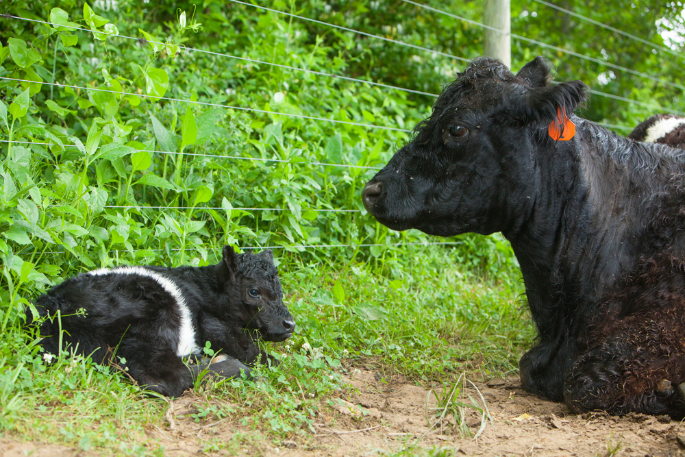 RappahannockBelties_May2015_020.jpg