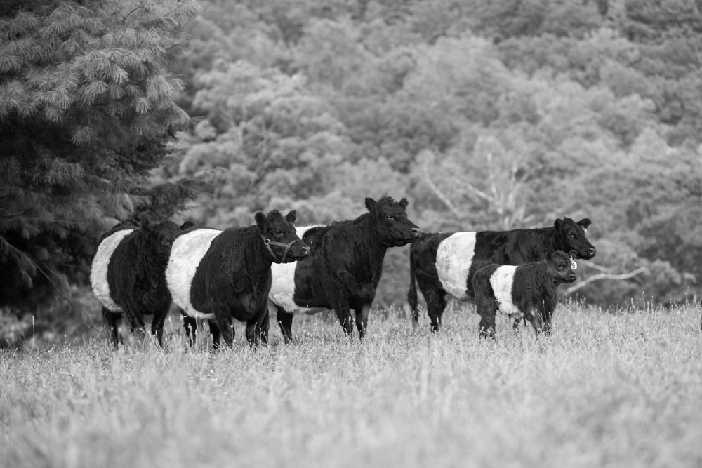 RappahannockBelties_July2015_048.jpg