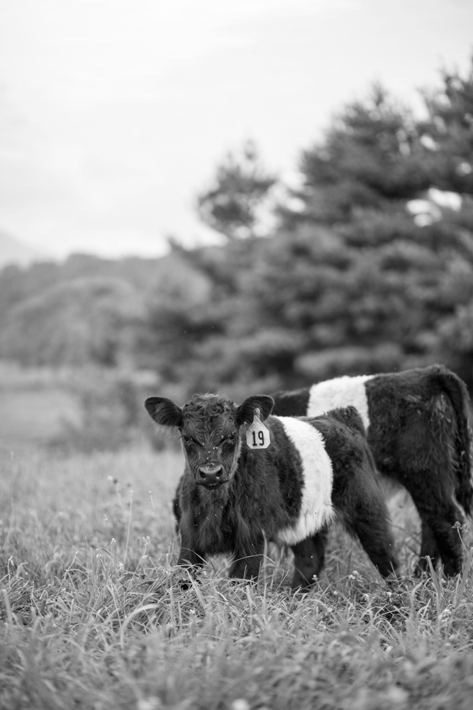 RappahannockBelties_July2015_106b.jpg