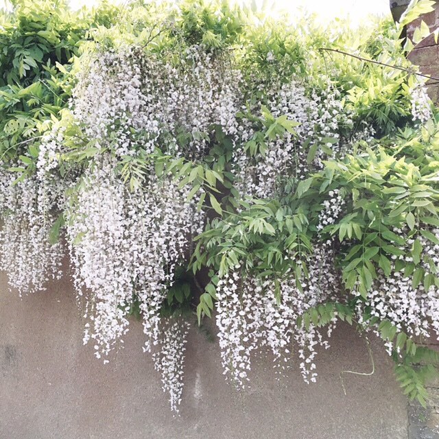 Saw this Wisteria in a village in Devon and the scent was just sublime. A brilliant choice for softening the edges of a garden wall, whilst adding a lovely fragrance. (Is it just me but thay always remind me of desperate housewives - #myguiltypleasure) #petitejoys #flashesofdelight #thehappynow #nothingisordinary #livethelittlethings #sustainableliving #sustainablestyle #devon #ethical #eco #sustainable #organic #wisteria #garden_styles #gardenlife #gardendesign #gardenlove #gardenflowers