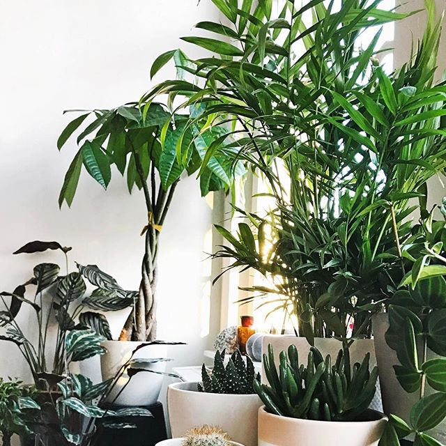 My home jungle is coming together nicely ☀️💚😍It took me a few years and LOTS of dead plants to finally grow a few green fingers. Still struggling with the moody Calathea Ornata though..🌱🌿 Tips welcome. #calatheaornata #homejungle #jungle #plants #interior #ornata #morning #sunshine #interiordesign #jungleparty #urbanjungle #planttips