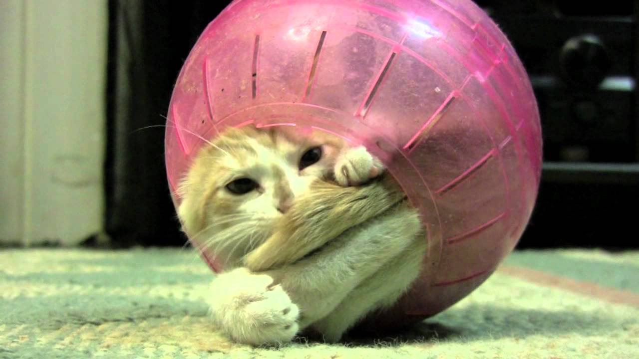 No matter how creative you are, no matter hard you work you will never get more attention than a video of a cat stuck in a hamster ball. Let that one sink in.