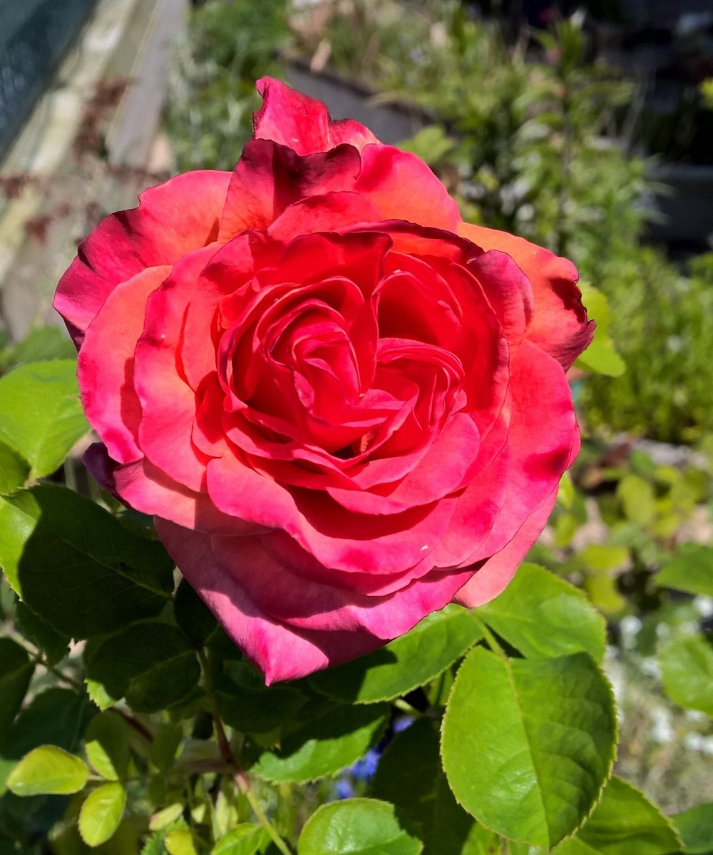 A rose from my garden, where I intend to spend a good portion of the weekend!