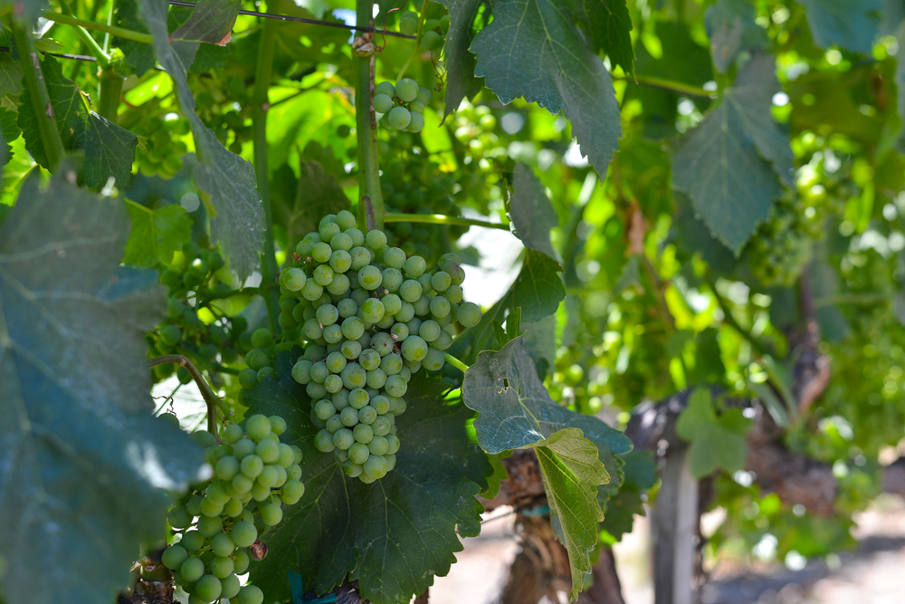 Northern California Vineyard