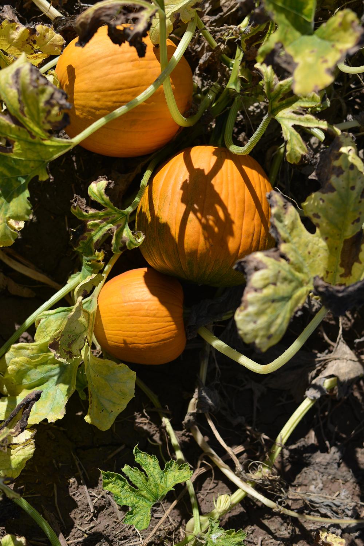 Pumpkins in Marana, AZ