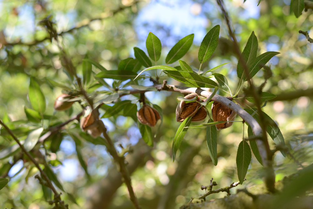Almonds on the branch