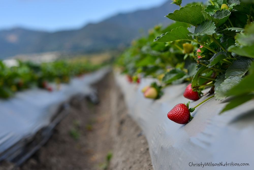 Strawberries on the vine in Salinas, CA.