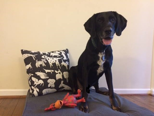 Brody  is loving his Revolution dog bed! Owned by  Karen Porter