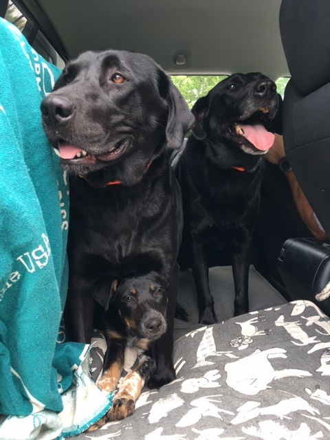 Maddie, Boots and Zoey  going for a ride with Revolution! Owned by  Anderson Gibbons