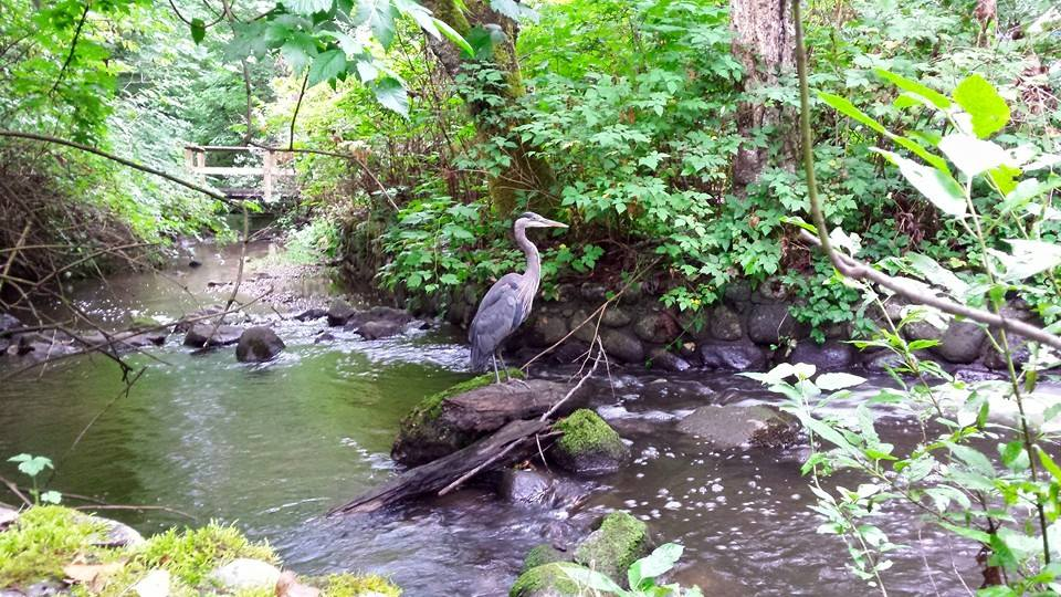Blue heron at Hoy Creek (Photo: Robbin Whachell /HSWS)
