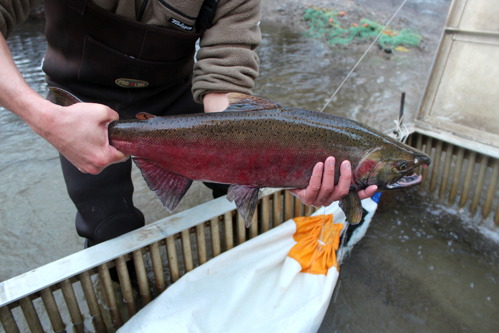 A coho salmon captured in the trap at Hoy Creek (Photo: Robbin Whachell)