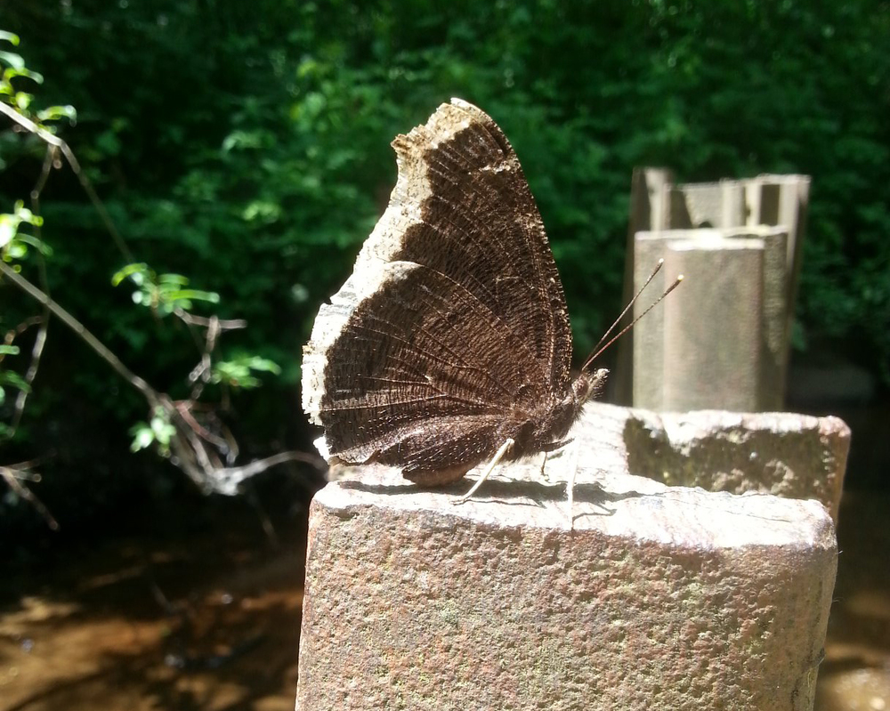 A butterfly by Hoy Creek (Photo: Robbin Whachell / HSWS)