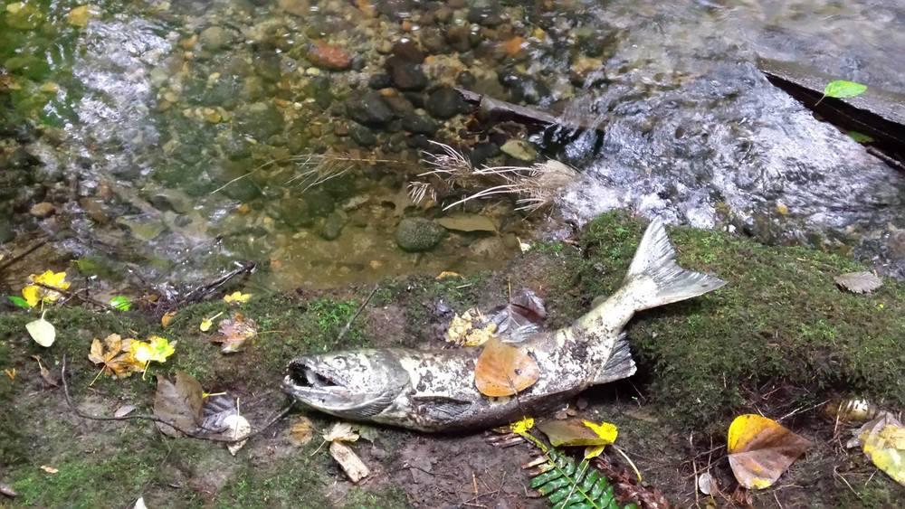 A dead chum salmon in Hoy Creek, Coquitlam (Photo: Robbin Whachell)