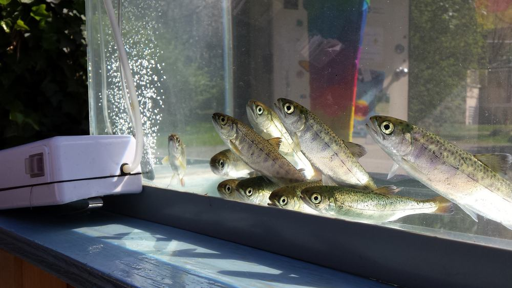 Coho smolts, approximately 18 months old, seen on display at a Hoy-Scott Watershed Societyopen house which are held the first Saturday of each month. The public is invited to help release thousands of the smolts into Hoy Creek on Sunday, May 1st at Hoy Creek Hatchery in Coquitlam.  (HSWS Photo)