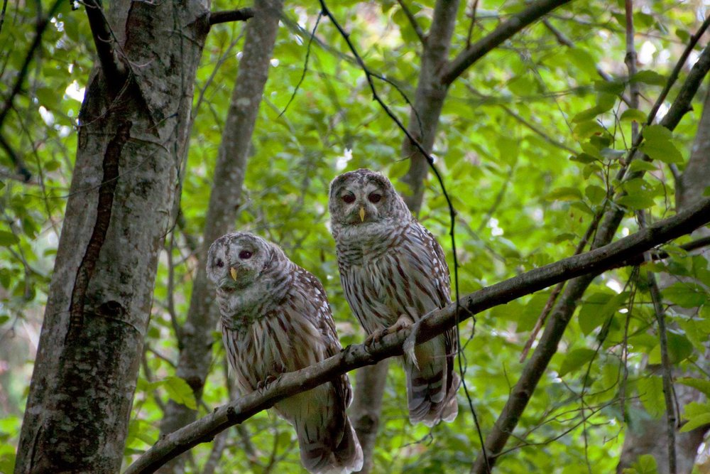Two barred owls along Hoy Trail in Coquitlam, BC, Canada (Photo: Ed Paulino)