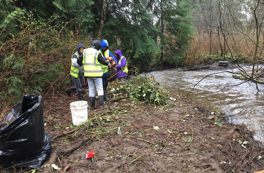 Pinetree Secondary School students helping clear invasive Himalayan blackberry along Hoy Creek (Photo: Kyle Uno / HSWS)