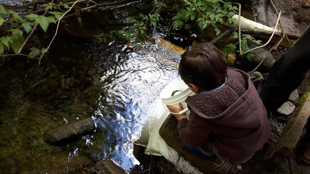 A young boy releases a fingerling coho salmon into Hoy Creek during Salmon Leave Home. (Photo: Robbin Whachell / HSWS)