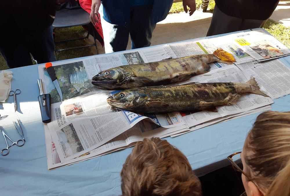 SCH Live Salmon.jpg